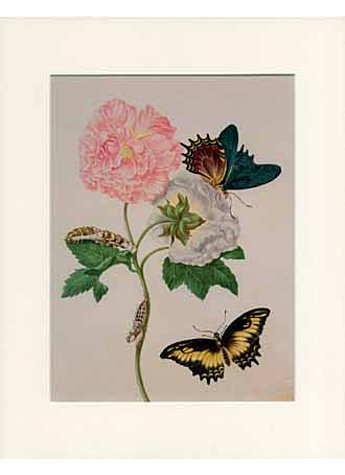 GERAHMTER DRUCK MERIAN ROSE WITH SWALLOWTAIL BUTTERFLY