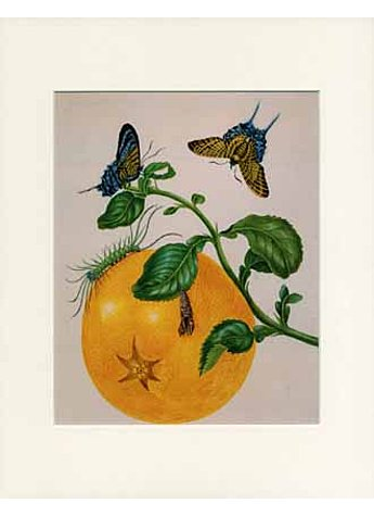 GERAHMTER DRUCK MERIAN BRANCH OF POMELO WITH URANIA MOTH